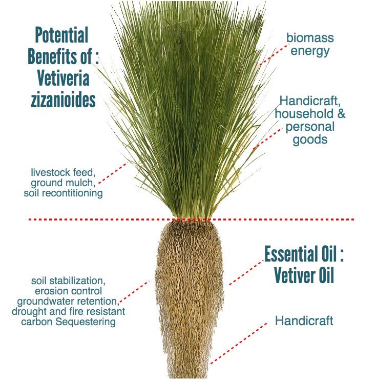 benefits of vetiveria zizanioides